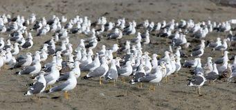 Multitud grande de gaviotas en la playa que mira todo en la misma dirección a excepción de una en el centro. foto de archivo