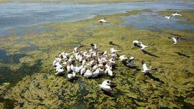 Multitud grande de grandes pelícanos blancos en un lago de sal en el delta de Danubio