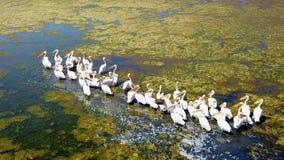 Multitud grande de grandes pelícanos blancos en un lago de sal en el delta de Danubio almacen de metraje de vídeo