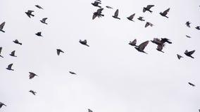 Multitud grande de la paloma en el cielo metrajes
