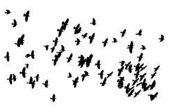 Multitud grande de los cuervos negros de los pájaros que vuelan en el fondo blanco Fotos de archivo