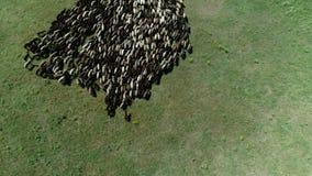Multitud grande de ovejas