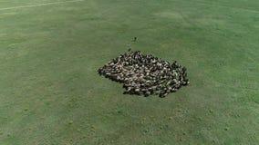 Multitud grande de ovejas metrajes
