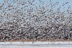 Multitud grande del lanzamiento de los gansos de nieve fotografía de archivo