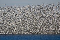 Multitud masiva de los gansos de nieve que toman vuelo Imagenes de archivo