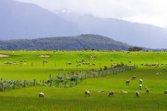 Multitud Nueva Zelandia de las ovejas   Imagen de archivo libre de regalías