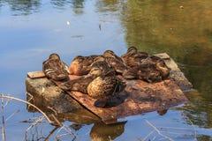 Multitud que se sienta de patos en una charca Foto de archivo