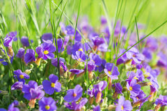 Multitude Aubrieta small blue flowers in grass on alpine glade Royalty Free Stock Image