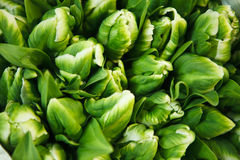 Multitude of green tulips Royalty Free Stock Photos