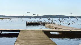 Multitude of gulls on pier Stock Images