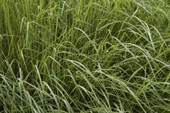 Multitude of long grass blades. Multitude of long grass blades Royalty Free Stock Photography