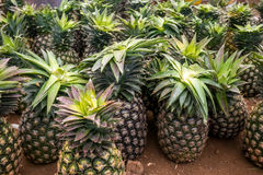 Multitude of pineapples in the market Royalty Free Stock Photo