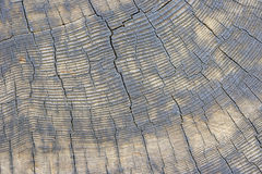 Multitude of Sequoia Tree Rings Stock Image
