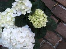White Hydrangeas Stock Photo