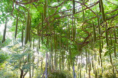 Multitude of wisteria pods in green garden Royalty Free Stock Photo