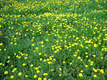 Multitude of yellow flower dandelion on the green grass background, horizontal view. Stock Images