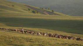 Multitudes de ovejas en las colinas en madrugada metrajes