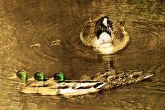 Multiwilde eenden stock afbeeldingen