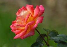 Multocoloured rose Stock Images
