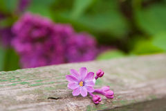 Multy-petal lilac. Which in Ukraine symbolizes good luck Royalty Free Stock Image
