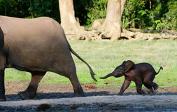 For mum. Africa. CAR. Forest Elephant.The small elephant calf runs for mum, trying to seize its tail Stock Photos