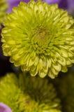 Mum amarelo Foto de Stock