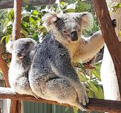 Mum and baby koala Stock Photos