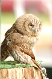 Mum and baby owl Royalty Free Stock Photography
