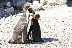 Mum and baby penguin Royalty Free Stock Photo