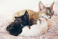 Mum cat with her kittens. Love and tenderness. Big gray cat and small kittens sleeping together, hugging each other. Cute cats, family. Devon Rex is a breed Stock Images
