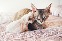 Mum cat and kitten. Love and tenderness. Big gray cat and a small cat sleeping together, hugging each other.  Cute cats, family. Devon rex curly cats breed Royalty Free Stock Image