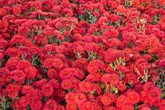 Mum chrysanthemum flower carpet Royalty Free Stock Photos