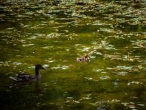 Mum duck and her duckling in the pond. Mum duck and her duckling resting in the pond Royalty Free Stock Photos