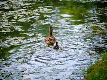 Mum duck and her duckling swimming away. Mother duck and her duckling swimming away Royalty Free Stock Images