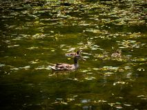 Mum duck and her ducklings in small pond. Mum duck and her ducklings swimming in small pond Royalty Free Stock Photos