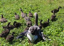 Mum duck saves her little ducklings. In the outdoor farm stock photo