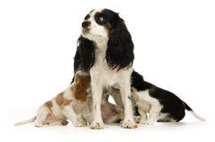 Mum e filhotes de cachorro do Spaniel de rei Charles Fotos de Stock Royalty Free