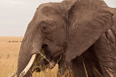 Mum Elephant in Kenya Stock Photos