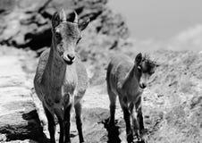 Mum en het Jonge geitje uit voor de meningen stock fotografie