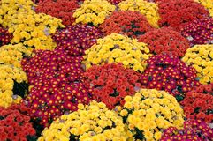Mum flower carpet Royalty Free Stock Photos