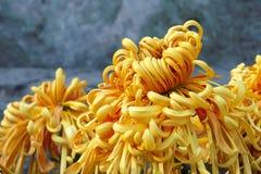 Mum flower Stock Photo