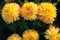 Mum flower Royalty Free Stock Photography