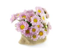 Mum flower color purple Stock Images