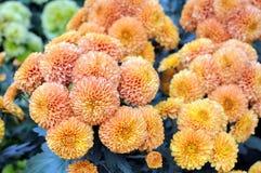 Mum flower Royalty Free Stock Photo