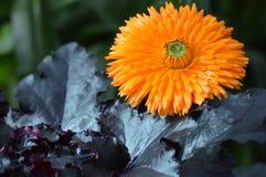 Mum flower in the garden. A Mum flower growing in the garden Royalty Free Stock Image