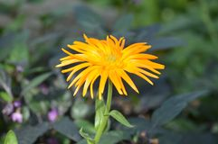 Mum flower in the garden. A Mum flower growing in the garden Stock Image
