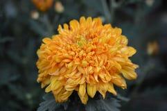Mum flower in the garden. A Mum flower growing in the garden Stock Photos