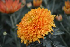 Mum flower in the garden. A Mum flower growing in the garden Royalty Free Stock Photo