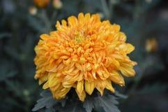Mum flower in the garden. A Mum flower growing in the garden Stock Photography