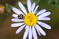 Mum flower and lady bug Royalty Free Stock Images